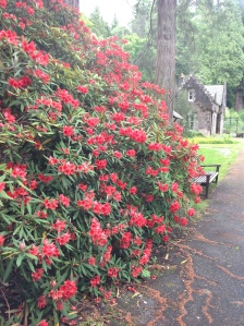 Red Rhody by Cafe