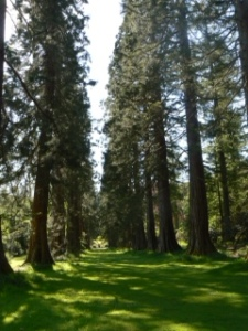 Redwood Avenue at Benmore Garden