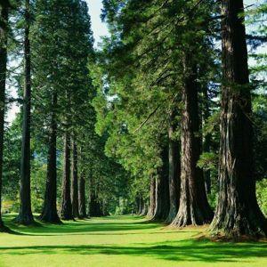 Benmore Redwoods