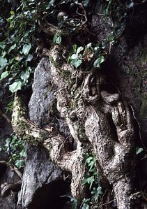 ivy-trunk