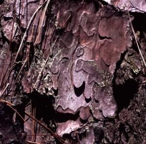 pine bark square